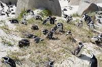 Afrikaanse Pinguïns