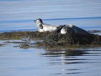 Zeehonden liggen te zonnen op een eilandje bij Ytri Tunga