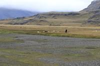réttir (het schapen bijeendrijven)