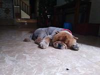 Een hond die alleen maar slaapt