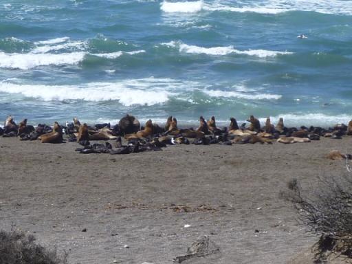 Zeeleeuwenkolonie, Peninsula Valdez