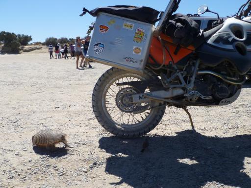 Een armadillo, een heel nieuwsgierig kereltje