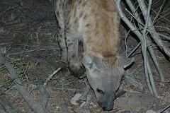 hyena 3 vlak bij de tent