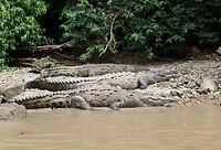 cocodrillos