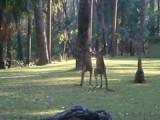 vechtende kangaroe's in Carnarvon