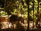 Wilde zwijnen in het NP