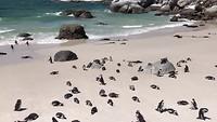 Pinguins Boulders