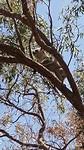 Eindelik spotte Syb in koala nei in hiele trip de berg op yn 40°!!