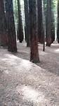 Yn dit redwood forrest kinst wol gek wurde alles is sa strak, kinst sa ferdwale