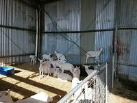Gekke geiten dy op de nuverste plakken stean gean.. Se klemme sich achter de stangen