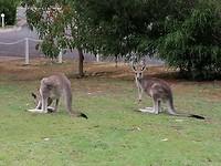 Kangaroos op de camping!