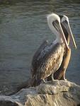Pelikanen in Pisco