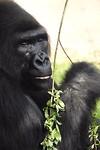 35. Gorilla