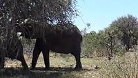 Kudde olifanten