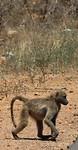 Brutale bavianen