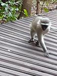 Monkey op het terras...
