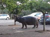 Nijlpaard op straat