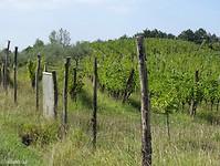 Toch nog olijfbomen en wijngaarden op de wandeling