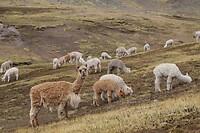 Lama's of Alpaca's?