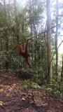 Wilde orang-oetans