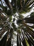 Grote bamboe stengels
