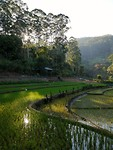 Rice paddies in morning mist <3