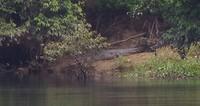4,5 meter Zoutwater krokodil