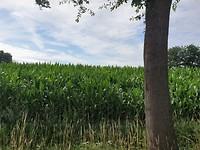 Maïs groeit lekker door