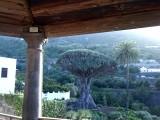 Dé drakenboom: Nationaal symbool van de Canarische eilanden
