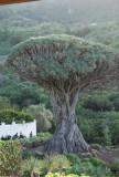 tussen de 500 en 600 jaar oude drakenboom