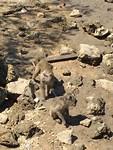 Aapjes bij het Komodopark