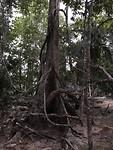 Reuzen van bomen
