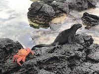 Rode krab samen met een Marina leguaan