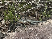 Veel salamanders op het eiland