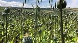 Papavervelden voor de maanzaadproductie.