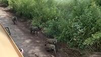 De passerende bavianen familie