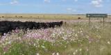 Dikke koeien grazend op prachtige bloemenweide,
