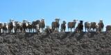 Een echt schapenland, Lesotho.