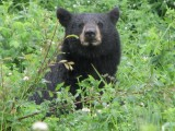 Alaska Highway - Blackbears are a common sight along the road