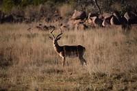 Impala mannetje
