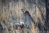 Cheetah met 3 welpen