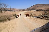 Koeien op de weg