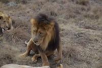 Leeuw donkere manen