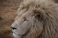 Lichte leeuw