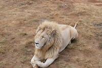 Lichte leeuw 1