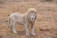 Lichte leeuw 2