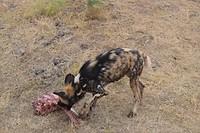 Wild dog diner