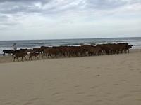 Kudde over het strand