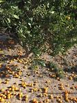 Je kunt ook te veel sinaasappels hebben