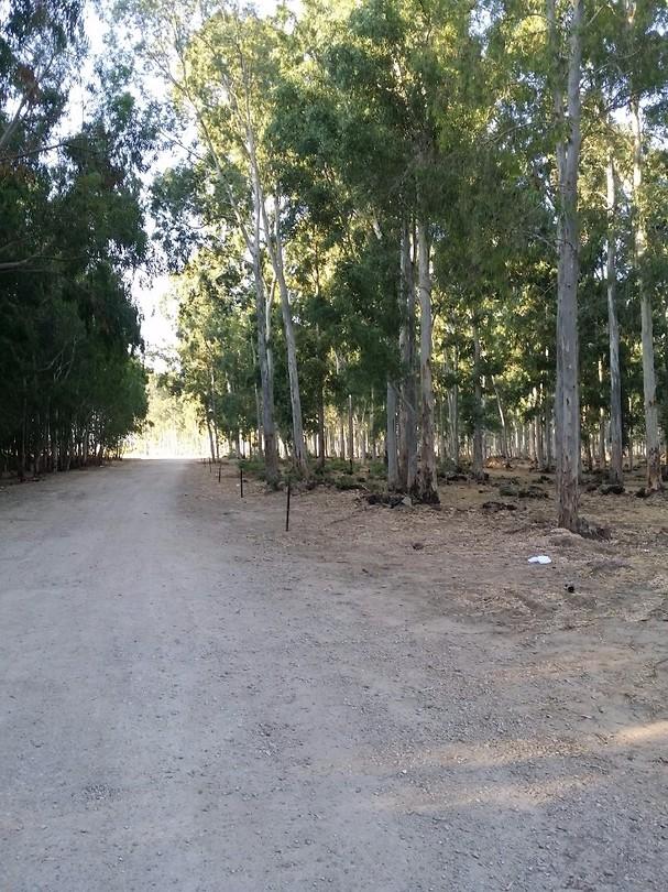 Eucalyptusbos bij Hadera